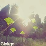 Ginkgo-links-300x300